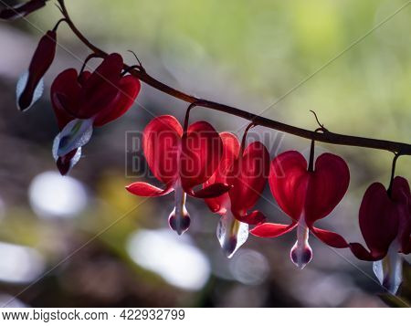 Beautiful Macro Of Pendent, Heart-shaped Red And White Flowers Of Bleeding-heart In Bright Backlight