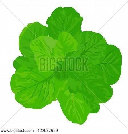 Green Lettuce Leaf Vector Stock Illustration. A Head Of Cabbage. Butterhead. Isolated On A White Bac