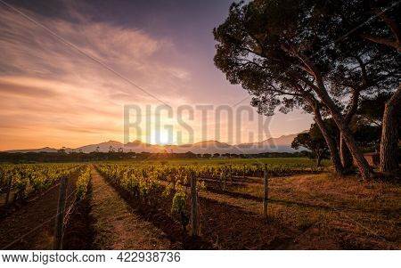 Dawn Breaking Over Rows Of Young Vines In A Vineyard In Corsica With Pine Trees In The Foreground An