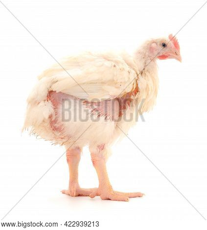 Young Broiler Chicken On Isolated White Background.
