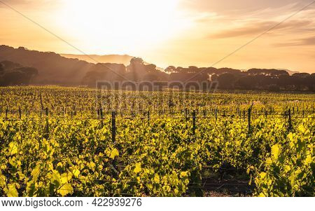 Dawn Breaking Over A Vineyard In Corsica With Pine Trees And Mountains In The Distance