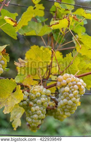 Grapes Riesling in autumn vineyard, Southern Moravia, Czech Republic