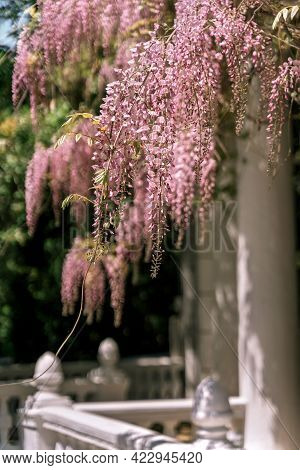 Blooming Wisteria Pink Vine Blossoms Climbing Along The Top Of Pavilion And Its White Stone Columns