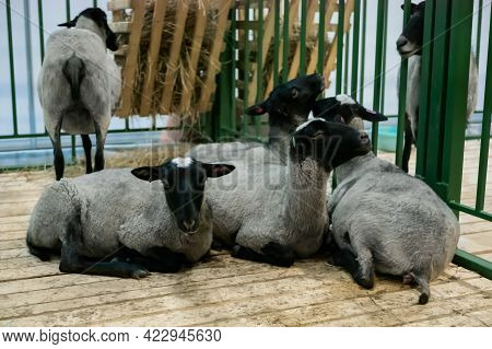 Flock Of Black And Grey Romanov Sheep At Agricultural Animal Exhibition, Small Cattle Trade Show. Fa