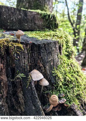 Mushrooms On The Stump. A Stump In The Woods With Mushrooms. Mushroom Stump.