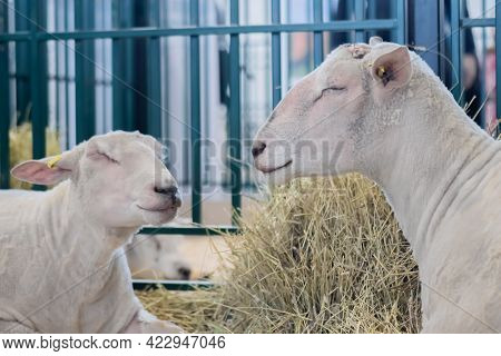 Portrait Of Two Cute Sleepy White Sheep Resting At Agricultural Animal Exhibition, Small Cattle Trad