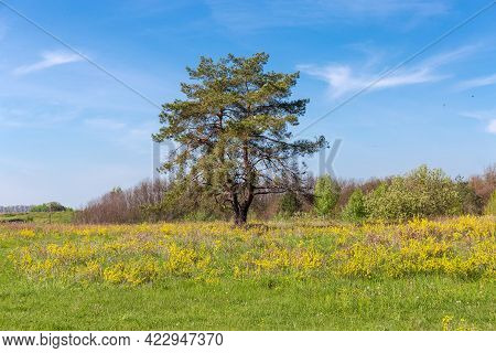 Single Pine With Curved Dual Trunk Among The Meadow Covered With Grass And Yellow Flowers Against Of
