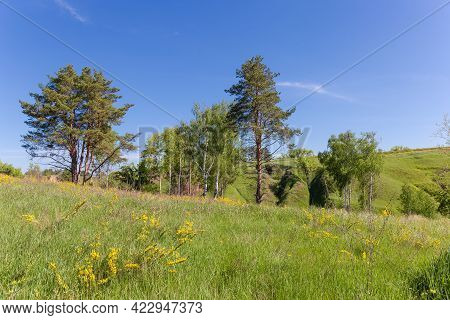 Pines And Birches Rarely Growing Among The Meadow Covered With Grass And Yellow Flowers Against Of R