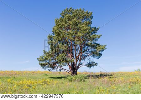 Single Pine With Curved Trunks Branching Off The Ground Among The Meadow Covered With Grass And Yell