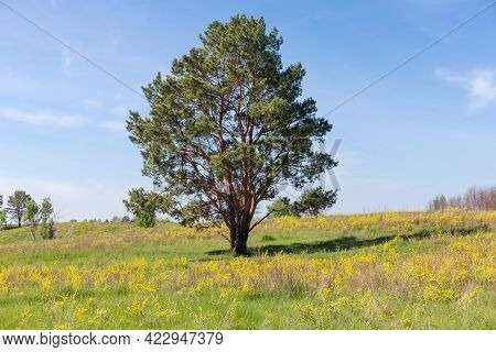 Single Pine With Curved Branched Trunk Growning Among The Meadow Covered With Grass And Yellow Flowe