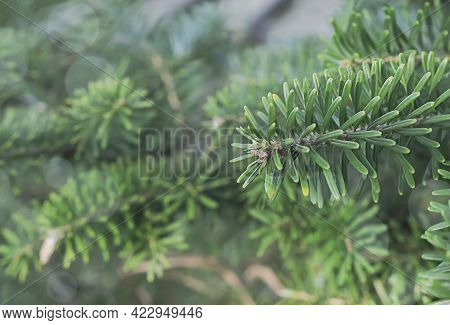 Korean Fir Branch Close-up. Spring Green Fir Branch, Selective Focus, Low-depth-of-field Photo, Hori