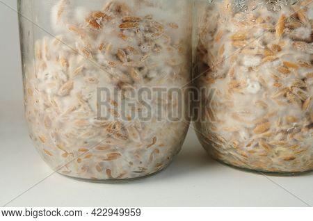 Mushroom's Mycelium Close-up,  Mycelium On Grain. Growing And Cultivating Organic Psilocybe Cubensis