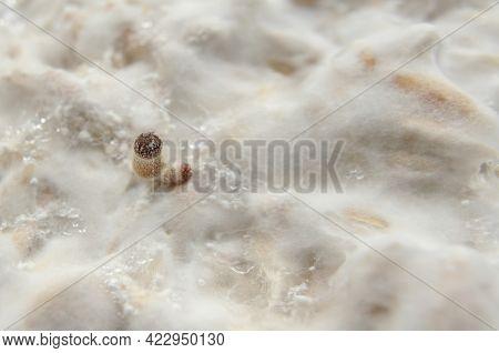 Mycelium Of Psilocybin Psychedelic Mushrooms Golden Teacher. Macro View, Close-up. Micro-dosing Conc