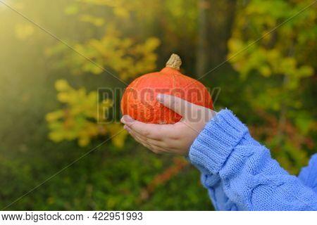 Hokkaido Pumpkin.autumn Harvest Of Pumpkin.farmed Organic Vegetables.thanksgiving Day And Halloween
