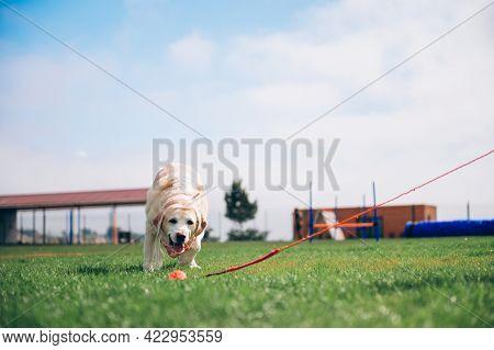 Labrador Retriever In Training. The Dog Plays A Ball. Labrador Retriever In Nature.