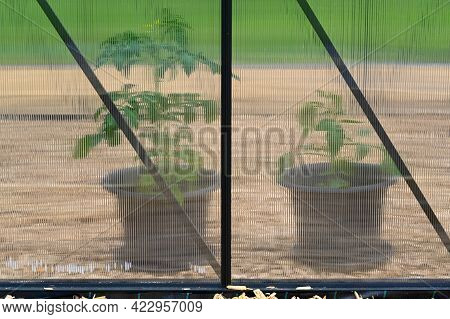 Two Plants In Plastic Pots In Greenhouse