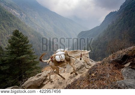 A Mule Train In The Himalayan Mountains Of Nepal.