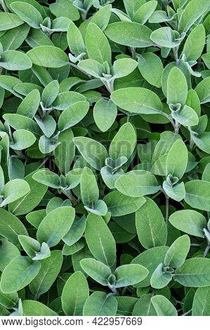 Fresh Sage Plants (salvia Officinalis) Nature Background