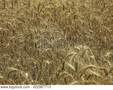 Closeup View Of The Ripe Wheat Field. Selective Focus