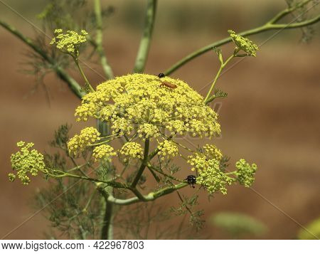 Blooming Wild Dill Inflorescence With Different Beetles On It Closeup