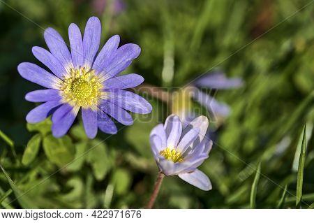 Beautiful Closeup View Of Yellow Stigma Of Blue Common Daisy (bellis Perennis) Flower, Herbert Park,