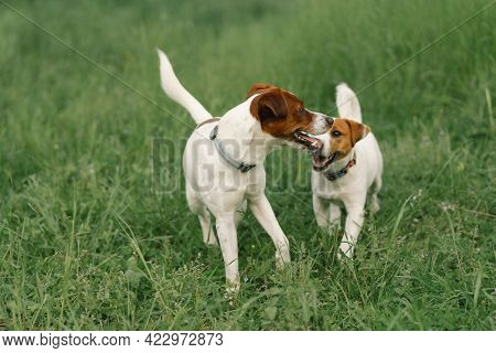 Jack Russell Terrier Dogs In Meadow. Jack Russell Terrier Dogs In Nature.