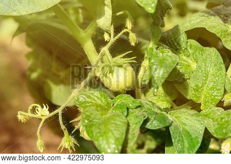 Tomato Bush With Green Tomato And Leaves With Water Drops In The Bright Sun, Close-up