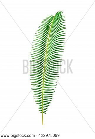 Sago Palm Tree Tropical Leaves And Vegetation, Isolated Exotic Flora Elongated Shape Of Cycas Circin