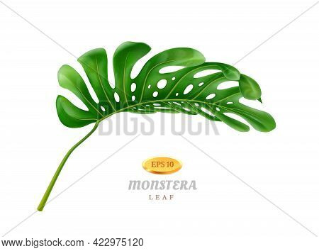 Exotic And Tropical Vegetation And Flora, Isolated Curved Wide Monstera Leaf With Holes. Greenery Of