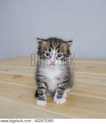 A Small, Tricolor Pet Looks Directly At The Camera. Baby Kitten Sits On A Wooden Background. Right I