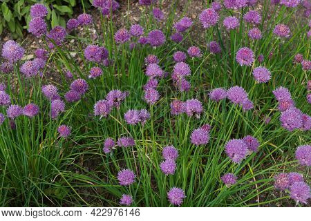 Full Frame Image Of Chives Growing With Pink Purple Blooms