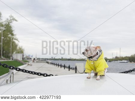 A Chihuahua Dog Sits Sideways On A Large Stone In A Yellow Jacket On The River Embankment In Cool Su