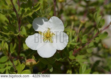 Shrubby Cinquefoil Bella Bianca - Latin Name - Potentilla Fruticosa Bella Bianca