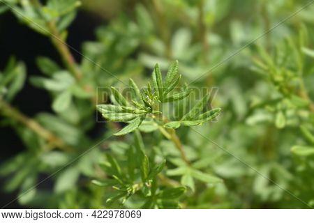 Shrubby Cinquefoil Goldfinger Leaves - Latin Name - Potentilla Fruticosa Goldfinger