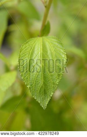 Californian Lilac Glorie De Versailles Leaves - Latin Name - Ceanothus X Delileanus Glorie De Versai