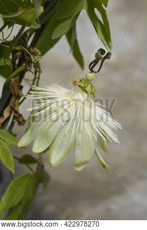 Snow Queen Passion Vine Flower - Latin Name - Passiflora Snow Queen