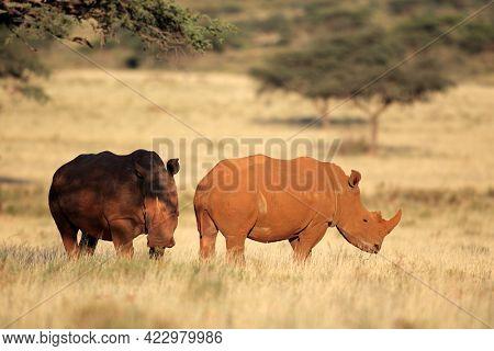 A pair of white rhinoceros (Ceratotherium simum) in grassland, South Africa