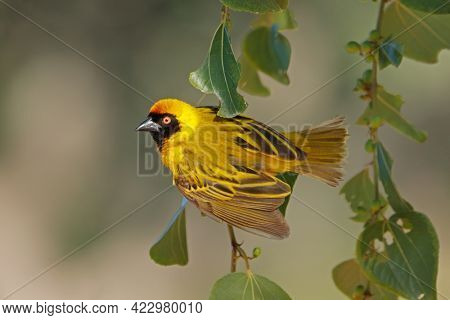 A male lesser masked weaver (Ploceus intermedius) on a branch, South Africa