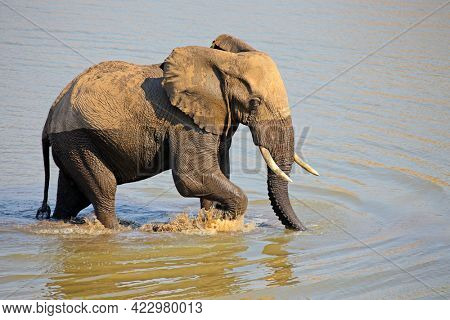 Large African bull elephant (Loxodonta africana) walking in a river, Kruger National Park, South Africa