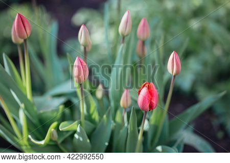 Beautiful Red Tulips In A Spring Garden. Selective Focus.
