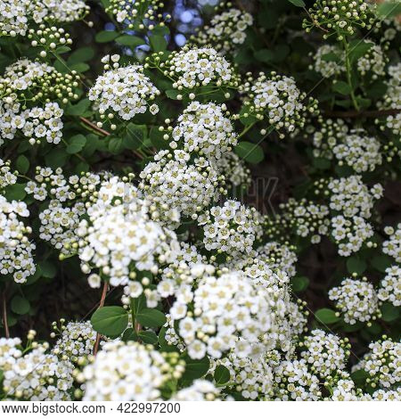 White Spirea Flowers In The Garden On A Sunny Day. Nature