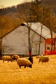sheep grazing in the maryland usa countryside at sunset poster