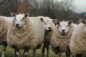 friendly sheep poster