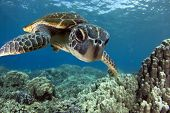 A Hawaiian gree sea turtle investigates his reflection in my dome port. poster