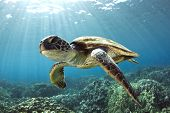 A Hawaiian gree sea turtle floats over the reef offshore from Kona, Hawaii. poster