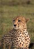 Cheetah posing in the Masai Mara Kenya poster