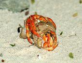Couple of Beautiful Orange Hermit Crab Copulation on Natural Ocean Coast background poster