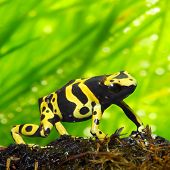 The poison dart frog Dendrobates leucomelas in a rainforest. Close up with shallow DOF. poster