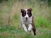 Border collie dog running on the lawn poster