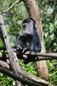 Black colored fur small monkey climbing tree in summer sunshine poster